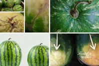 paprasti patarimai, kaip teisingai išsirinkti arbūzus